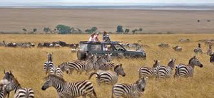 Zebras Seen in the Serengeti - Africa Gay Men Tours