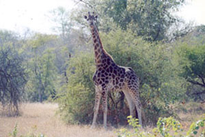 Giraffe Looking at Camera - Africa Gay Men Safari
