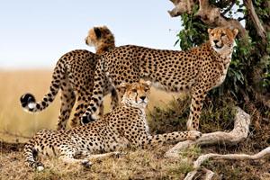 3 Cheetahs on Africa Gay Men Safari