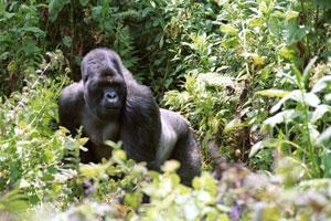 Silverback Pausing in Brush - Gorilla Encounter