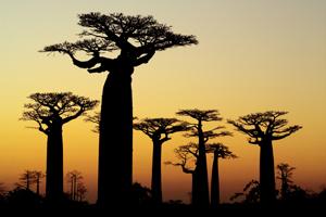 Baobab Trees At Dusk - Gay Adventures