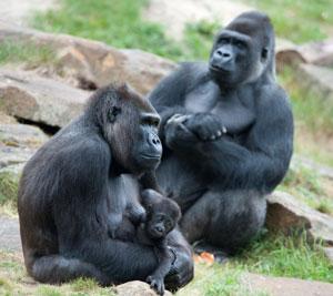Gorilla Encounter with Family of Silverbacks