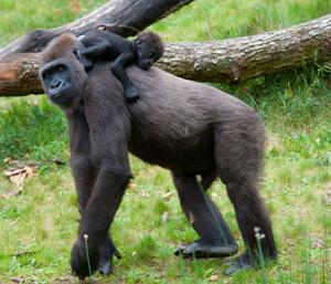 Baby Gorilla Climbing on Mom's Back - Gorilla Encounter