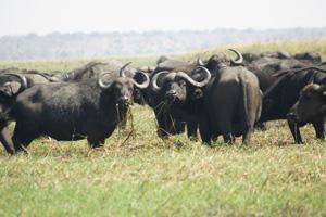 Herd of Water Buffalo - Gay Travel