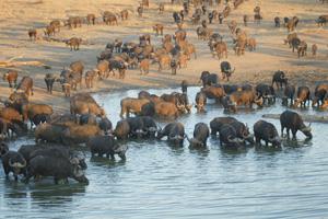 Water Buffaloes in Lake - Gay Men Adventures