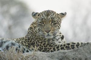 Leopard Laying Down - Africa Gay Men Safari