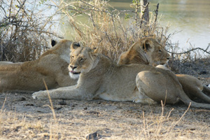 3 Lioness Laying Near Water - Africa Gay Men Tours