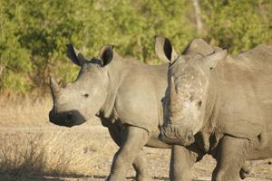 2 Rhinos Walking - Africa Gay Men Safari