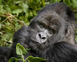 Gorilla Encounter with a Silverback