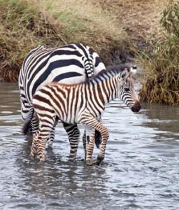 Baby Zebra & Mother Standing in Water - Gay Men Tours